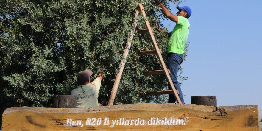 Bin 200 yaşındaki zeytin ağacından kasa kasa zeytin hasatı