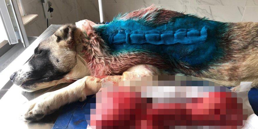 Kangal köpeğin sırtından 4 kg timör çıktı